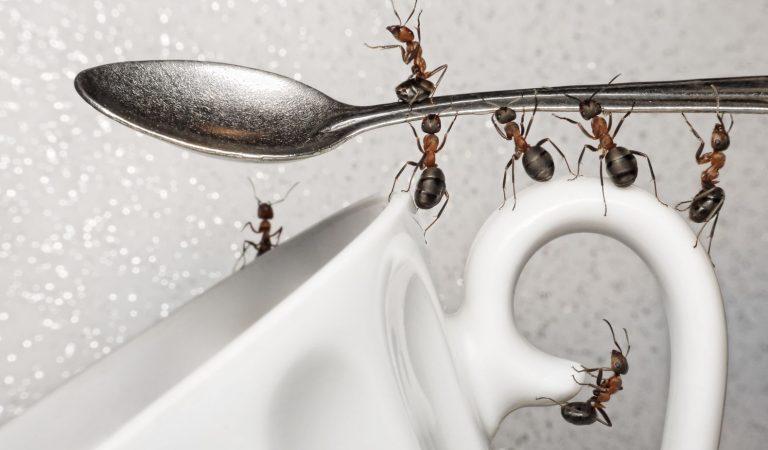Evinizi İstila Eden Karıncalardan Kurtulmanın Yolları