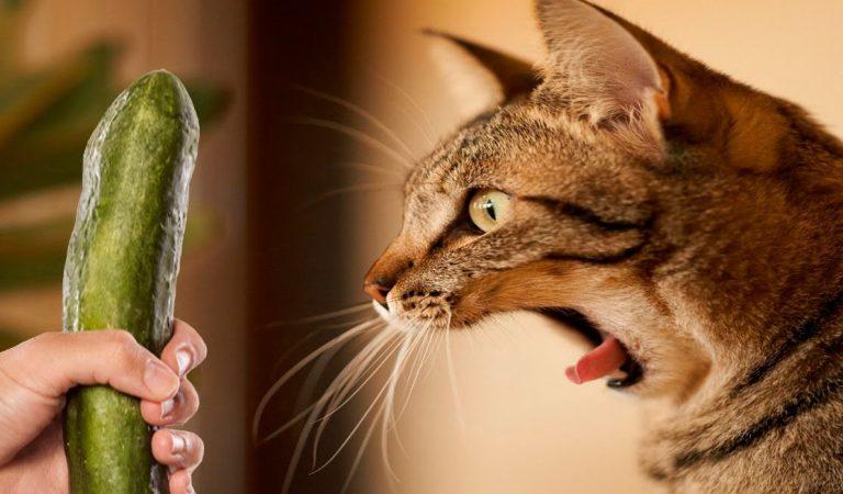 Kediler Salatalıktan Neden Korkar? İşte Sebebi
