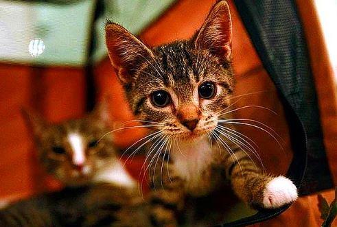 Adana'da Dört Ayağı Kesilmiş Yavru Kedi Bulundu