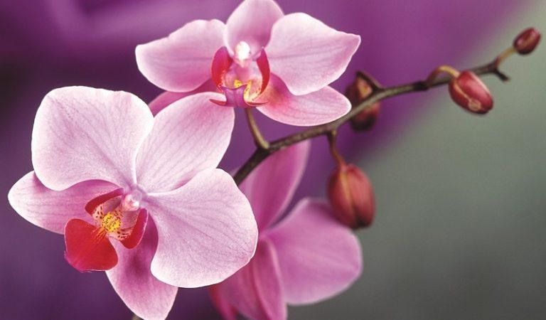 Orkide Bakımı Nasıl Olmalıdır ve Orkide Nasıl Budanmalıdır?